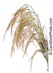 paddy rice on white background