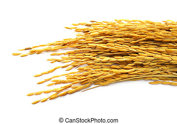 paddy rice on white background.