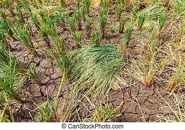 paddy rice seed on rice paddies.