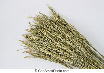 Paddy Rice Seed