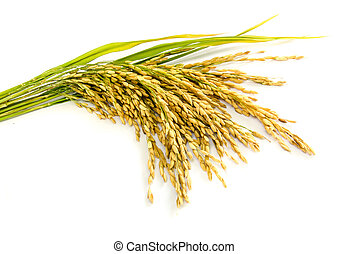 paddy rice seed. - paddy rice seed on a white background