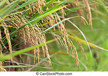 Paddy Rice