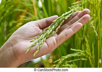 paddy, riz, closeup, haut, main