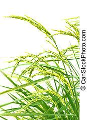 paddy, riz, fond blanc