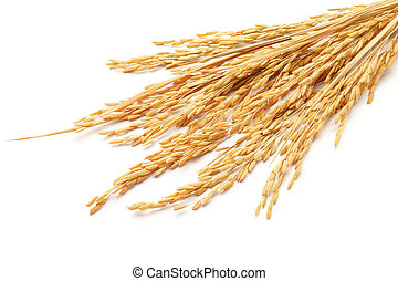paddy or rice grain (oryza) isolated on white background