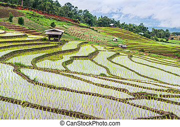 Paddy -Terraced rice fields in northern Thailand ,Pa pong...