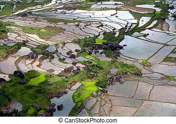 padi, arroz