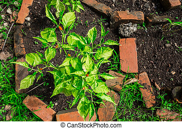 padi, chile, planta, top-down, vista