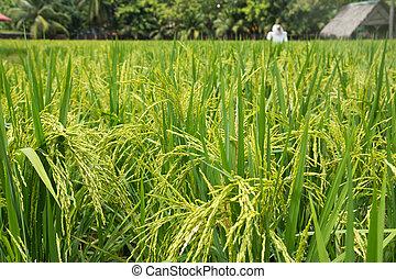 Padi field - The greenish rice padi field in Malaysia
