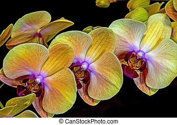 padrão, textura, phalaenopsis, amarela, flores, florescendo, orquídea