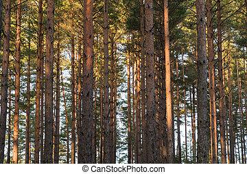 padrão, troncos, árvore, pinho
