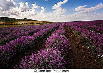 paesaggio, colors., field., bello, estate, quotidiano, contrapponendo, lavanda, fields., immagine