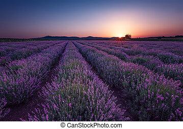 paesaggio, colors., field., nubi, drammatico, bello, lavanda, estate, alba, contrapponendo, sky., fields., immagine