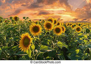Grande, girasoli, paesaggio, campo. Blu, estate, nubi, cielo ...