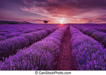 paesaggio, lavanda, colors., contrapponendo, bello, nuvole scure, field., fields., tramonto, estate, drammatico, immagine, sunset.