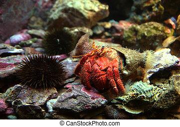Pagurus bernhardus on the seabed - Hermit crab (Pagurus...