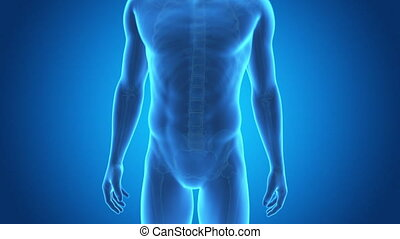Medical 3d animation of a male having acute pain in the lower back