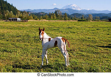 A week-old paint colt enjoys the mild summer weather in a field near Mount Rainier, Washington.