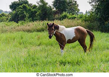 Paint Horse in Pasture