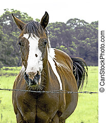 Paint horse standing behind barbed wire