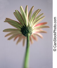 back view of red painted daisy in soft focus
