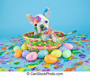 Funny little French Bulldog puppy sitting in an Easter basket, that looks like she just got done painting Easter eggs. On a blue background.