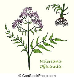 Hand Drawn Colored Branch of Valerian with Root Isolated on the White Background. Herbal with Latin Name Valeriana Officinalis. Herbal Medicine Component with Wide Range of Application.