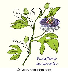 Painted Hand Drawn Sketch of a Maypop Flower