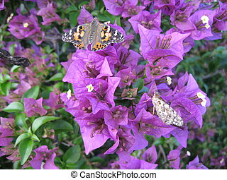 butterflies on bougainvillea