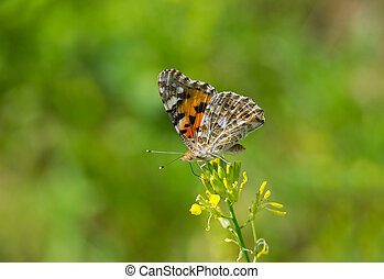 Painted Lady butterfly on a wild yellow flower