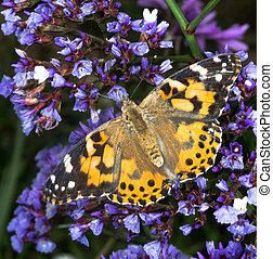 painted lady butterfly on flowers