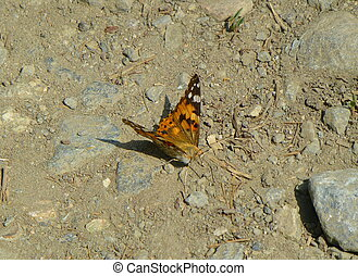 Painted lady butterfly sitting on the ground