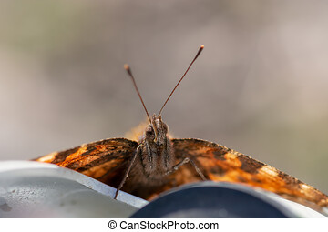 Painted Lady butterfly, Vanessa cardui, close up frontal view o