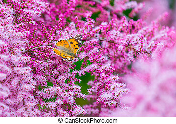 Painted Lady butterfly, Vanessa cardui on flowers