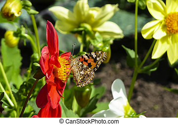 Painted Lady butterfly, Vanessa cardui, on red Dahlia flower