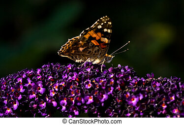 Painted lady on butterfly bush in summer
