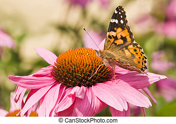 Painted lady on purple coneflower