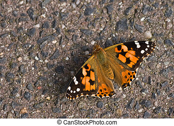 Painted Lady resting on stone