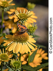 Painted Lady (Vanessa cardui), butterfly feeding on Black...
