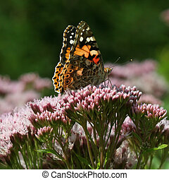 Painted Lady Vanessa cardui butterfly sitting on a flower