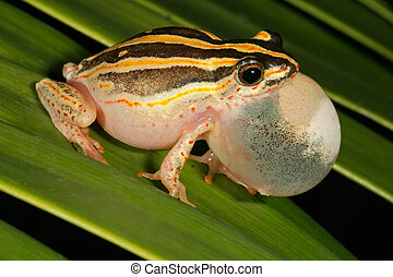 Painted reed frog - Male painted reed frog (Hyperolius...