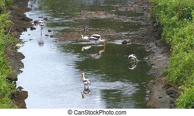 Painted Stork birds hunting in lake - Painted Stork...