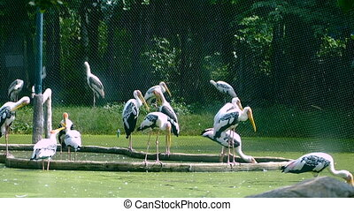 Painted Stork or Mycteria leucocephala birds is standing on...