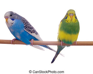 pair budgerigar on white background