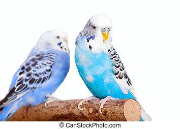 pair budgerigar