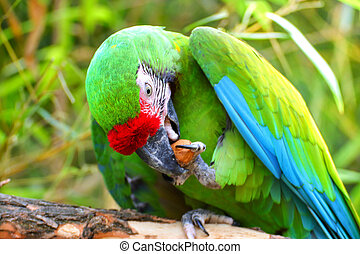 Green military macaw eating nuts