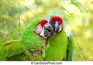 Pair great green military parrot