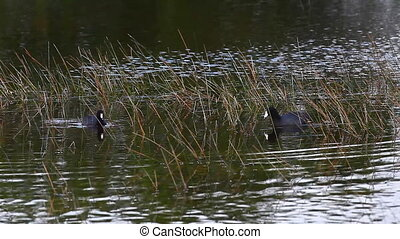 Pair of American Coots in marsh - Pair of American Coot, ...