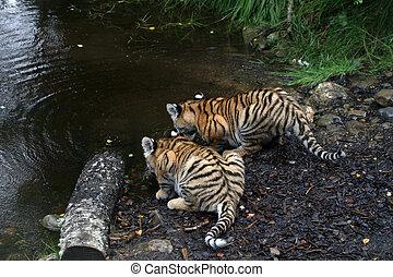 Pair of Amur Tiger Cubs - Panthera tigris altaica - Pair of...