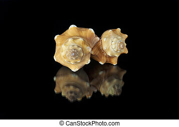 pair of Angaria Delphinus shells on a black background - ...